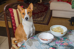 Basenji wonders when master is going to place true canine food on the table Royalty Free Stock Photos