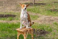 Basenji zonnebaadt zitting op een rieten kruk in de lentetuin stock foto
