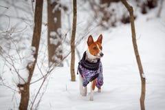 Basenjien för liten hund går i en snöig skogvinter Arkivfoton