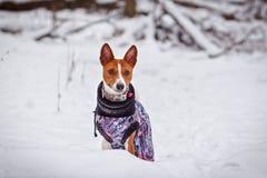Basenjien för liten hund går i en snöig skogvinter Arkivbild