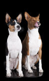 Basenjis on the black background. Black and brindle basenjis on the black background Royalty Free Stock Photo