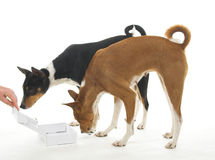 Basenjis with Box. Two Basenjis with a empty box they wish was full of food Stock Images