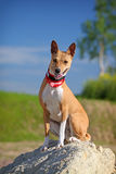 Basenjis dog. Sit on rock Royalty Free Stock Photos