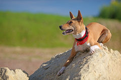 Basenjis dog. Lie down on rock Royalty Free Stock Images