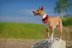 Basenjis dog. Stand on rock Royalty Free Stock Images