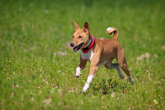 Basenjis dog. Run in field Royalty Free Stock Image