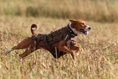 Basenjis dog. Fast run in field Royalty Free Stock Photography