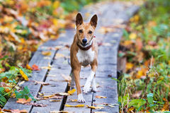 Basenjis dog. In autumn park Stock Images