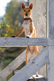 Basenjis dog. In autumn pavilion Stock Photos