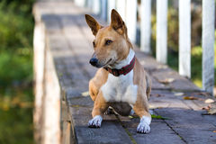 Basenjis dog. In wooden bridge Stock Photo