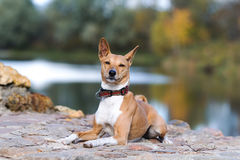 Basenjis dog. Sit in autumn park Stock Photography