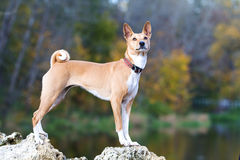 Basenjis dog. Sit in autumn park Royalty Free Stock Photography