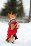 Basenjis dog. In winter village Royalty Free Stock Images