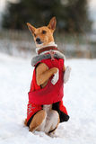 Basenjis dog. In winter village Royalty Free Stock Photos