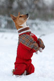 Basenjis dog. In winter village Stock Image