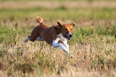Basenjis dog coursing. Run in field Royalty Free Stock Images