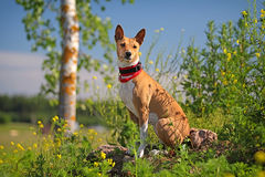 Basenjis dog sit. In flowers field Stock Images