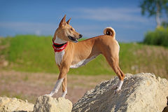 Basenjis dog stand. On rock Stock Photo