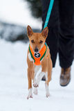 Basenjis dog in winter. Forest Royalty Free Stock Photography