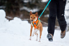 Basenjis dog in winter. Forest Stock Photography