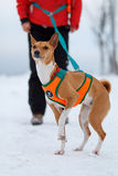Basenjis dog in winter. Forest Royalty Free Stock Images