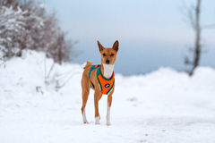Basenjis dog in winter. Forest Stock Images