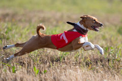 Basenjis dogcoursing. Basenjis dog coursing run in field Royalty Free Stock Photo