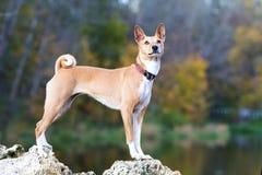 Basenjis hund Royaltyfri Fotografi