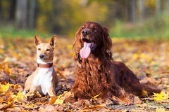 Basenjis and irish setter. Dogs in autumn park Royalty Free Stock Photo