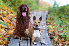 Basenjis and irish setter. Two dogs in autumn park Stock Photography