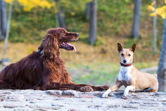 Basenjis and irish setter. Dogs in autumn park Stock Photos