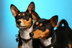 Basenjis posing in studio. On the blue background Royalty Free Stock Photo