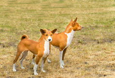 Basenjis two. Basenji is on the grass in the park Royalty Free Stock Images
