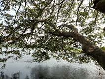 basenu drzewo obraz royalty free