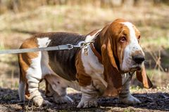 Baseta ogar, traken beagle psy, hodujący w Anglia obrazy royalty free