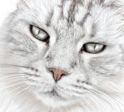 Basette bianche del gatto fotografia stock libera da diritti