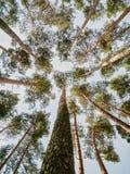 Basez vers le haut de la vue dans une forêt avec beaucoup d'arbres images libres de droits