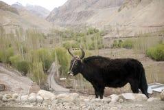 basgo印度ladakh牦牛 库存图片