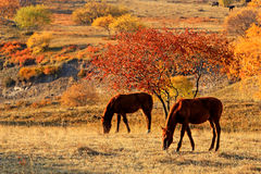 Bashang grassland in the autumn. Bashang grassland is located in the northwest, north China's hebei province, Inner Mongolia plateau, the south rim (commonly Royalty Free Stock Photos