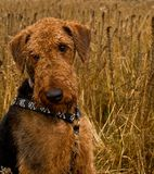 Bashful Airedale terrier dog sits in wheat field. Bashful airedale terrier dog sitting in the middle of a wheat field royalty free stock photos