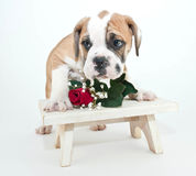 Bashful Bulldog Puppy Stock Photo