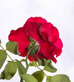 Bashful rose - Isolated red rose facing away from viewer Stock Photo