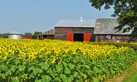 Bashfull Sunflowers. This beautiful filed of sunflowers is on a farm in rural Michigan Stock Image
