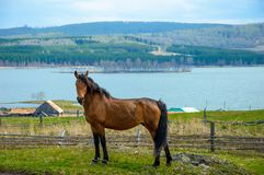 Bashkir hobbled horses on the green grass. Stock Photo