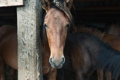 Bashkir horse. Horse head in a stall, Bashkiria Royalty Free Stock Photography