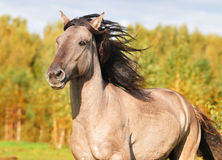 Bashkir horse portrait Royalty Free Stock Images