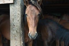 Bashkir Pferd Lizenzfreie Stockfotografie