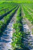 Basi della patata prima di terra-in su Immagini Stock Libere da Diritti