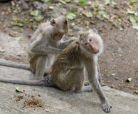 Basic activity of monkey. Seeking some insect on boyfriend s body Royalty Free Stock Photo