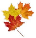 Basic_Autumn_Leaves Lizenzfreie Stockfotos